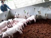 Bán mụn xơ dừa đã xử lý làm đệm lót sinh học trong chăn nuôi
